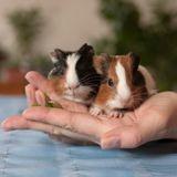 Comment prendre soin des pattes de mon cochon d'Inde ?