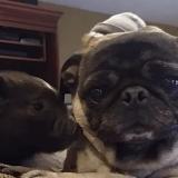 La vidéo improbable révélant l'amour d'un cochon pour un chien