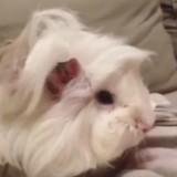 Ce cochon d'Inde adore se faire brosser les poils et il le montre (Vidéo du jour)