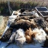 Carnage dans un refuge de l'Hérault : 34 cochons d'Inde violemment massacrés !