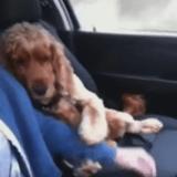 Le Cocker qui ne peut pas rouler sans la main de son maître… (Vidéo du jour)