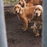 66 chiens sauvés par la SPA d'un élevage insalubre dans les Landes (Vidéo)