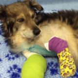 Amputé des pattes avant, un chien roumain trouve enfin le bonheur