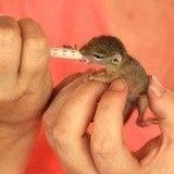 Une fois sauvé, ce bébé écureuil ne souhaite plus retourner à la vie sauvage