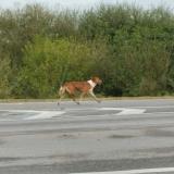 Ce chien a parcouru 60 kilomètres pour retrouver son maître à l'hôpital