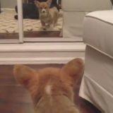 Le petit Corgi et le miroir (Vidéo du jour)