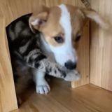 Son Corgi s'installe dans la maison du chat : quand il veut en sortir, la guerre éclate !
