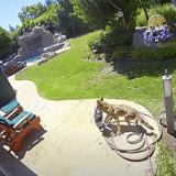 Un couple laisse son Chihuahua dans le jardin : quelques minutes plus tard, il est alerté par des hurlements
