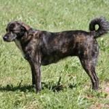 Cursinu : tout savoir sur cette race de chien