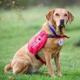 Une médaille pour Daisy, le Labrador qui a détecté plus de 500 cas de cancers