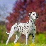 Ce Dalmatien au ventre énorme allait mettre bas, quand le vétérinaire a compris qu'il s'était trompé
