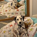 La réaction de ce chien Dalmatien lorsqu'il se voit dans le miroir vaut de l'or (Vidéo)