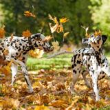 Les chiens joueraient plus volontiers lorsque les propriétaires les regardent, conclut une étude