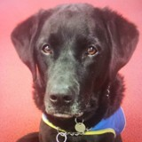 Le chien d'assistance d'une personne handicapée a disparu : appel à témoins pour le retrouver