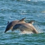 Le Dobermann est en train de se noyer : deux dauphins arrivent et tentent de le sauver (Vidéo)
