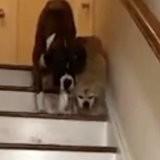 Un chien aveugle peine à descendre les escaliers, un énorme Boxer arrive et tout le monde est scotché (vidéo)