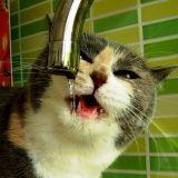 Diabète sucré du chat : comment le diagnostiquer ?