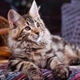 Découvrez le chat de race Maine Coon en photos