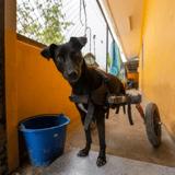 En Thaïlande, un homme équipe les chiens paralysés de chariots roulants pour leur permettre de courir à nouveau