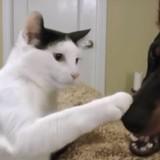 Un chat provoque un Dobermann : personne ne s'attendait à ce qui allait se passer !