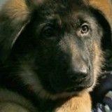 Dobrynya ne remplacera pas Diesel : le chien a été jugé inapte au service