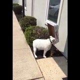Quand un Bulldog fait un carton ! (Vidéo du jour)