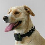 Votre chien a trop chaud ? Un collier vous prévient par SMS !