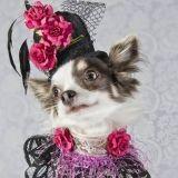 Des Chihuahuas vêtus de tenues haute-couture : mignon ou ridicule ?