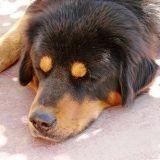 Dogue du Tibet : accessoire de luxe tendance en Chine