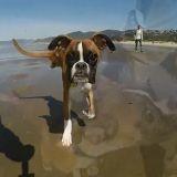 Duncan, le Boxer à 2 pattes, court pour la première fois sur la plage (Vidéo du jour)