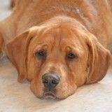 Bouleversant : seul chien du refuge à ne pas être adopté, il regarde ses congénères partir avec leur nouvelle famille
