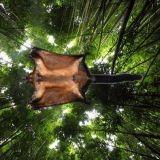 Un écureuil volant géant découvert au Laos