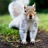 De la viande d'écureuil dans un supermarché de Londres !