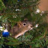 Sauvé par un couple, cet écureuil vit aujourd'hui dans leur sapin de Noël