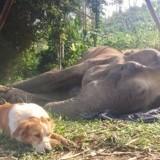 Jusqu'au bout, ce chien n'a pas voulu quitter son amie éléphante qui mourrait