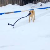 Elsa le Labrador : la reine des neiges, c'est elle !  (Vidéo du jour)