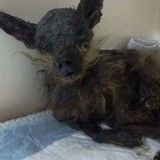 Cette chienne volée a été retrouvée 8 ans plus tard dans un état calamiteux