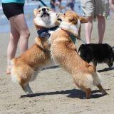 Quand 140 Corgis se réunissent sur la plage (Photos et vidéo)