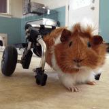 Estella, l'adorable cochon d'Inde qui se déplace en fauteuil roulant