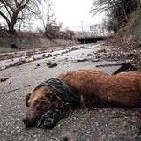 Programme d'extermination: des milliers de chiens empoisonnés au Pakistan