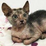 """Un Lykoi, """"chat-garou"""" extrêmement rare, trouvé par une association"""