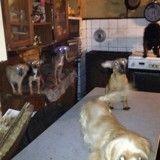 30 chiens maltraités vivaient dans un logement insalubre de 30 m²