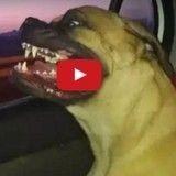 Voilà un chien qui semble apprécier les voyages en voiture comme personne !
