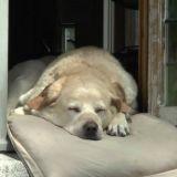Fidele, le labrador le plus célèbre de Bruges est décédé
