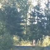 Elle se promène avec son chien et croise un puma : Metallica la sauve ! (Vidéo)