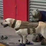 Découvrez Frida, la chienne héroïque qui secourt les victimes du séisme au Mexique
