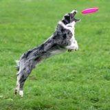 Un chien en finale d'Incroyable Talent version US