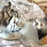 Quand un adorable furet adopte un bébé tigre abandonné (Vidéo du jour)