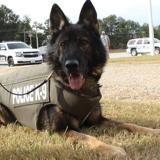 Un chien policier reçoit 5 balles dans le corps et survit miraculeusement grâce à un petit détail