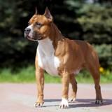 Après avoir gagné un concours de beauté, ce chien préfère fuguer plutôt que de prendre l'avion !